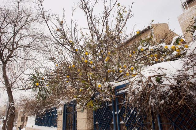 Лимонное дерево в снежном плену Все права защищены. 20 февраля 2015 г. © Православный паломнический центр «Россия в красках» в Иерусалиме. Использование фотографий разрешено только после получения письменного разрешения редакции нашего сайта: e-mail: ippo.jerusalem@gmail.com